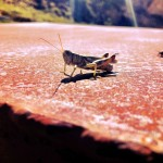 Grass Hopper and Friend - Dewey, Utah