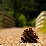 Pinecone in the Blackhills SD